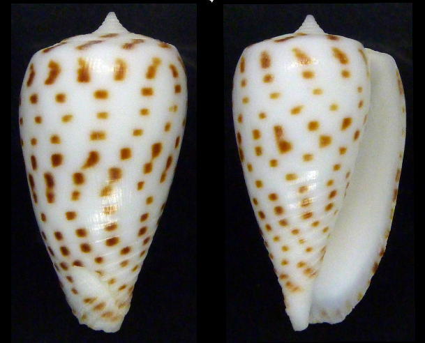 Conus (Phasmoconus) blanfordianus  Crosse 1867 Sans_t12