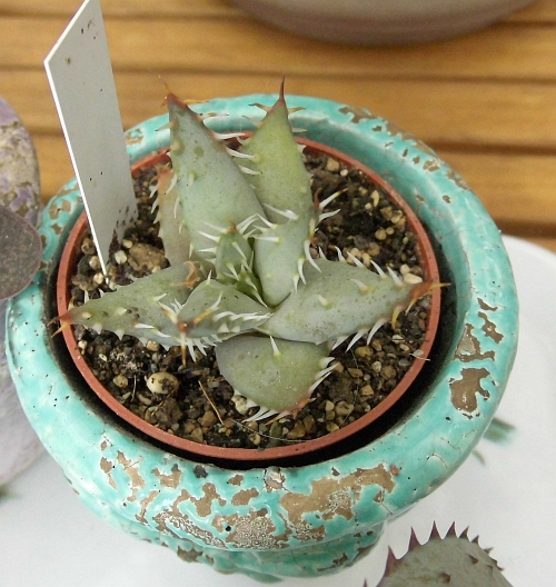 Aloe erinacea Dsci1016