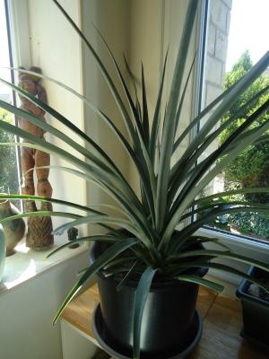 la culture de l'ananas - Page 2 Ananas10