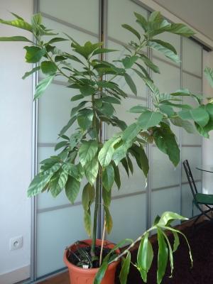 mon Avocatier-Persea americana - Page 3 Avocat10