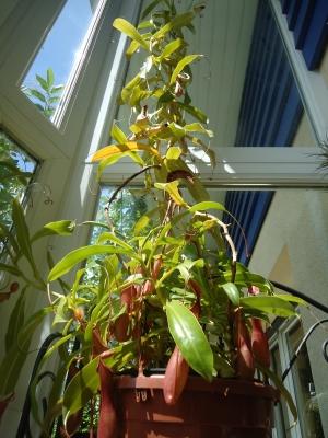 La culture et l'entretien des plantes carnivores Nepent10