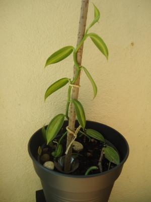 Culture et Entretien de la Vanilla Planifolia - Page 3 Vanill10