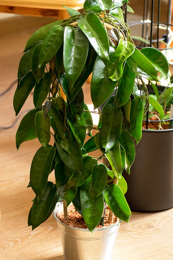 Substrat für Hoya onychoides Pk3a2413