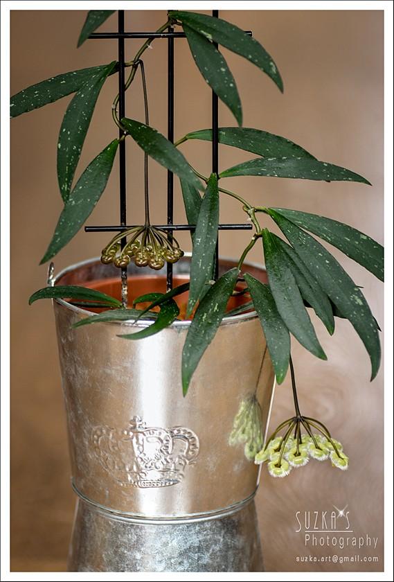 Hoya mirabilis Pk3a2417
