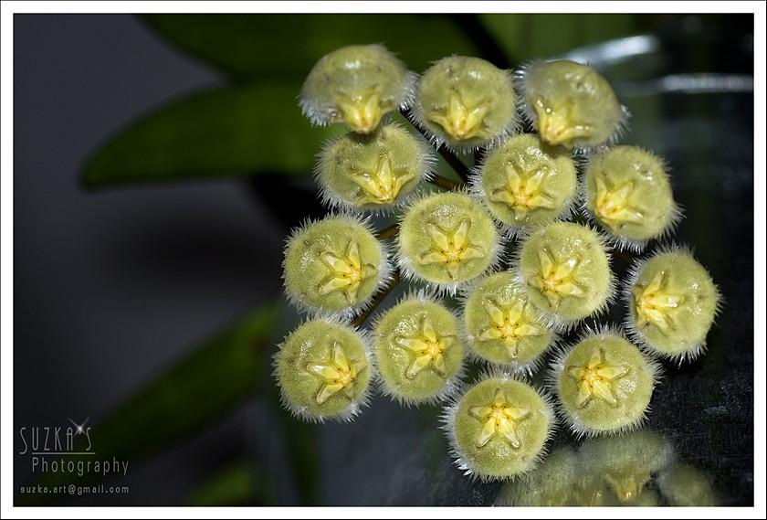 Hoya mirabilis Pk3a2418