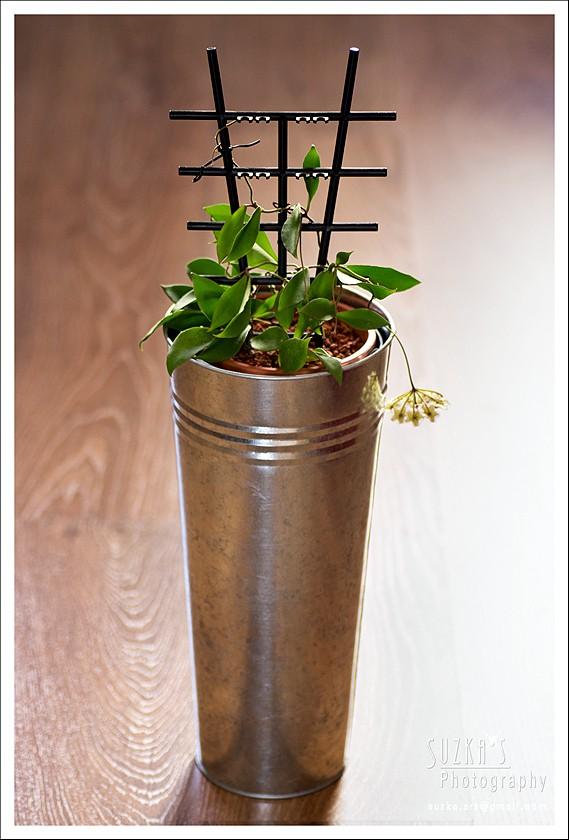 Hoya soidaoensis Pk3a3010