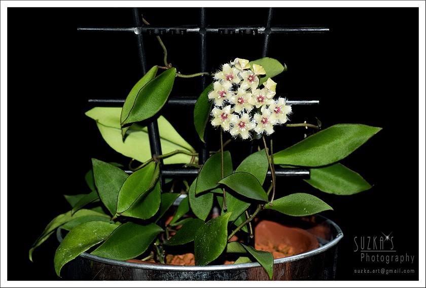 Hoya soidaoensis Pk3a3012