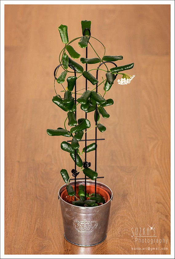 Hoya rotundiflora Pk3a3216