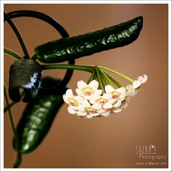Hoya rotundiflora Pk3a3314