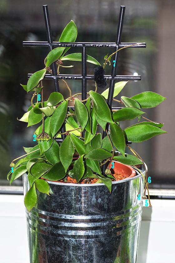 Hoya soidaoensis Pk3a3911