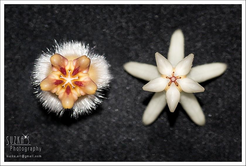 Hoyablüten im Vergleich Pk3a4915