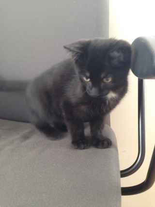 Un caractère en or : Jedi chaton né vers le 10 juillet 2014 -Adopté par babacool62- 00610