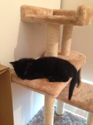 Un caractère en or : Jedi chaton né vers le 10 juillet 2014 -Adopté par babacool62- 2_01110