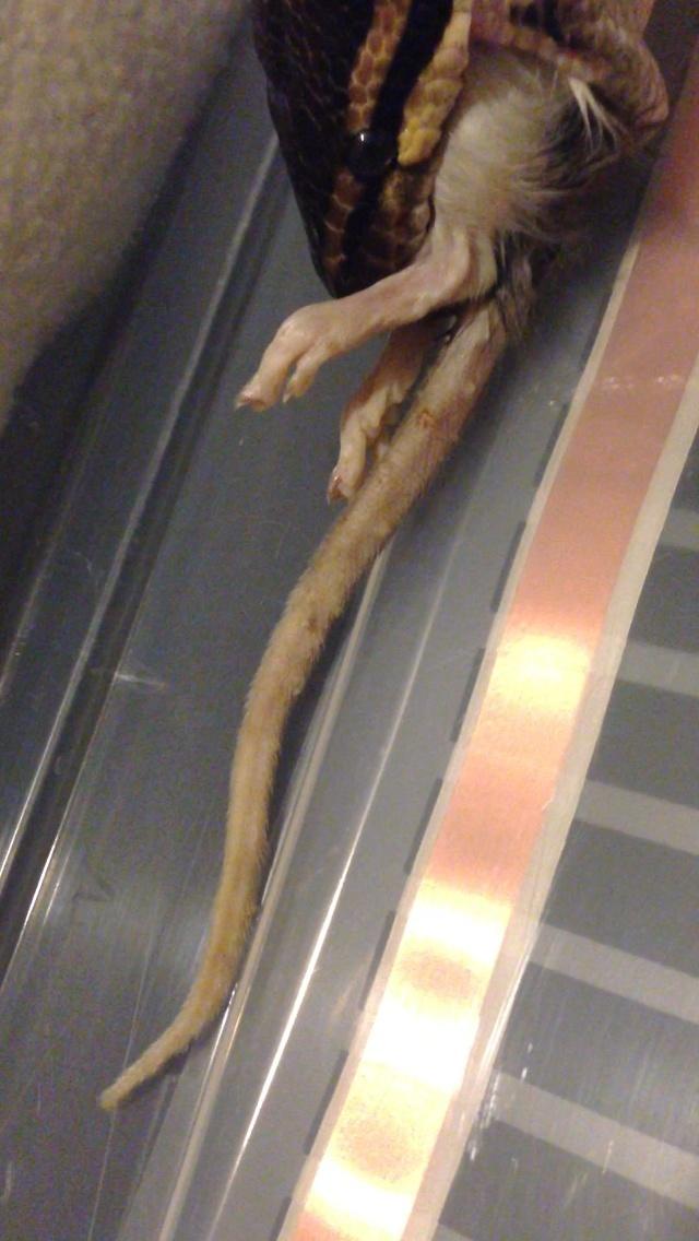 nourriture malade, dégâts pour python régius?? Img_3510
