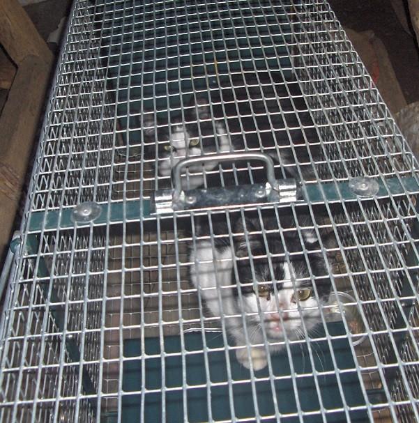 Les chats du Chatel - site de la baie du Mont St Michel Hpim9311