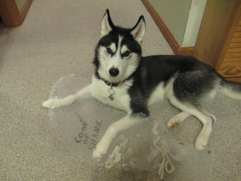 HOTM Chat: November - Naughty Huskies 05311