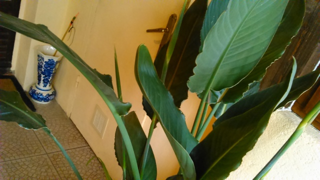nouvelles de mon oiseau de paradis  Dsc_0014