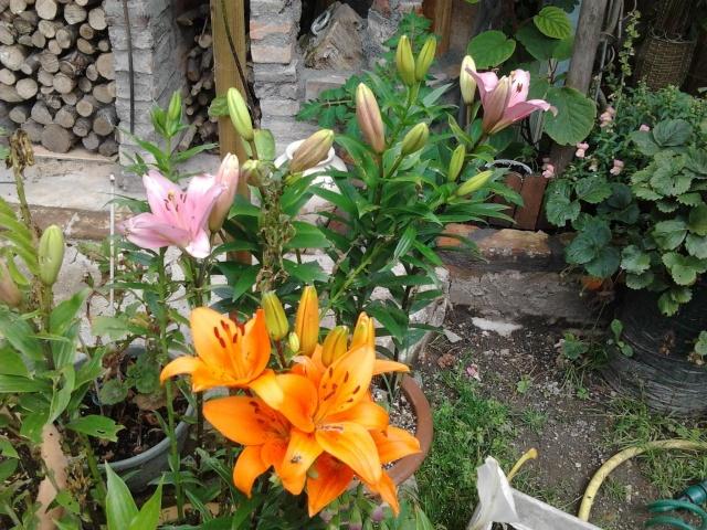 nouvelles photos de mes fleurs  Photo122