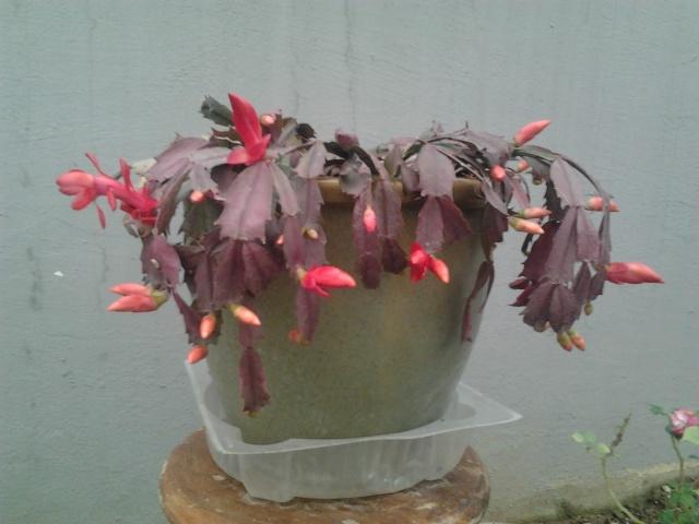 Schlumbergera, ou cactus de noel  - Page 3 Photo137