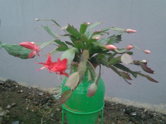 Schlumbergera, ou cactus de noel  - Page 3 Photo139