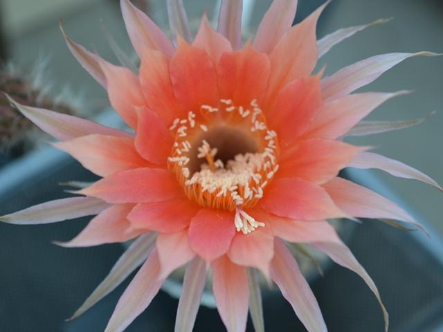 Random Cacti Photo Thread - Page 2 Dsc_1111