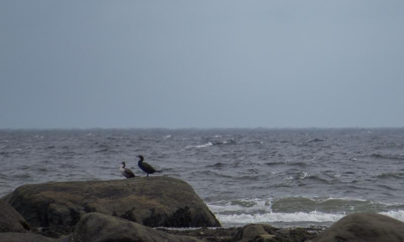Est-ce que c'est deux cormorans à aigrette ? 15062010