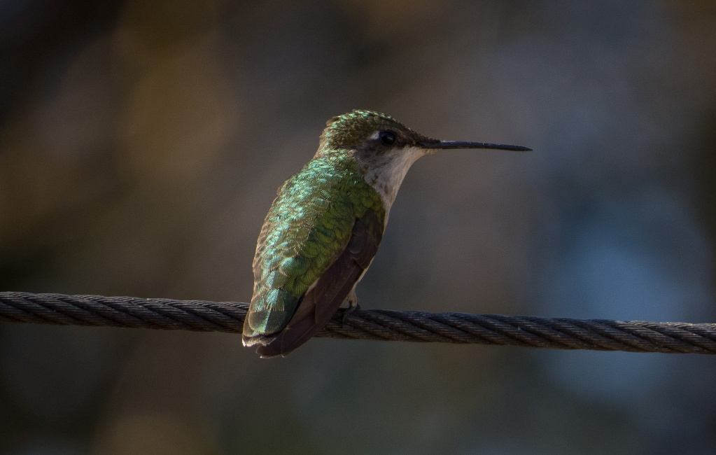 Mon premier colibri en photo  28052014