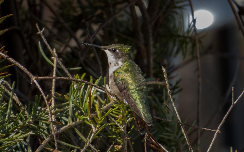 Mon premier colibri en photo  28052015