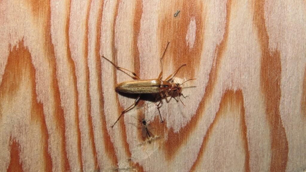 Insecte nocturne Le_lon11