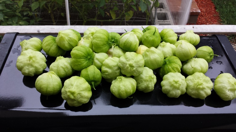 canning tomatillo salsa questions (salsa verde) 20140815