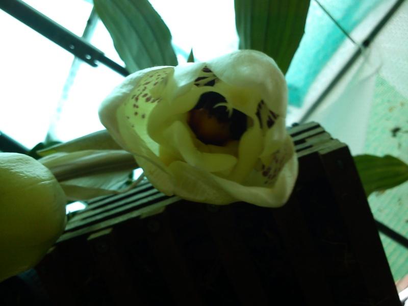 Stanhopea martiana, heutemorgen offen gegangen.... 01710