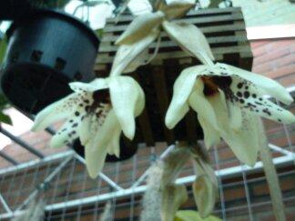Stanhopea martiana, heutemorgen offen gegangen.... 02210