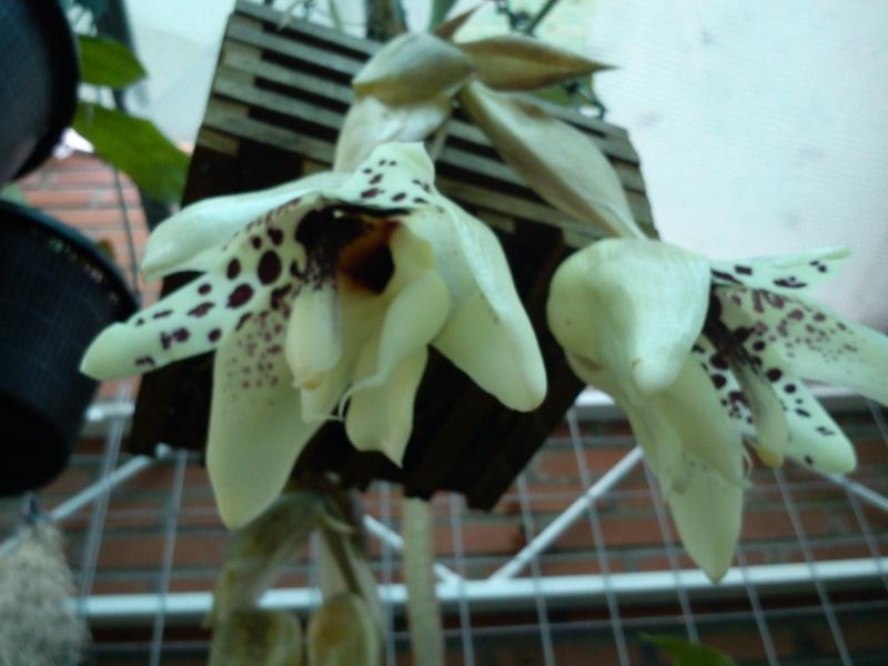 Stanhopea martiana, heutemorgen offen gegangen.... 02510