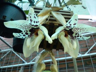 Stanhopea martiana, heutemorgen offen gegangen.... Martia11