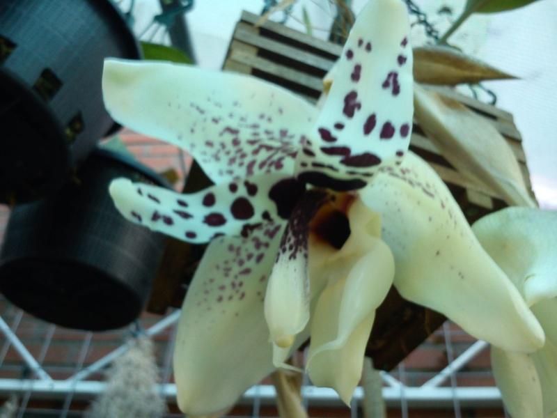 Stanhopea martiana, heutemorgen offen gegangen.... Martia12