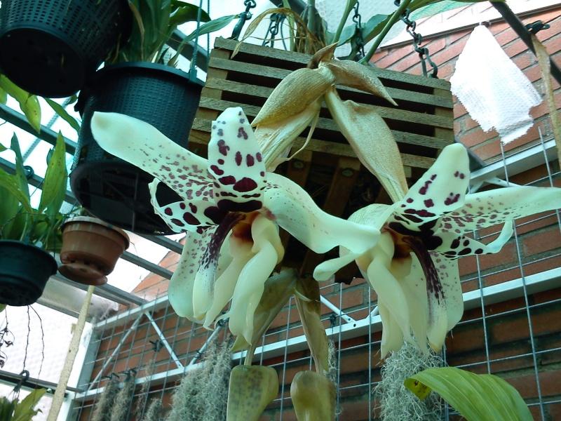 Stanhopea martiana, heutemorgen offen gegangen.... Martia16