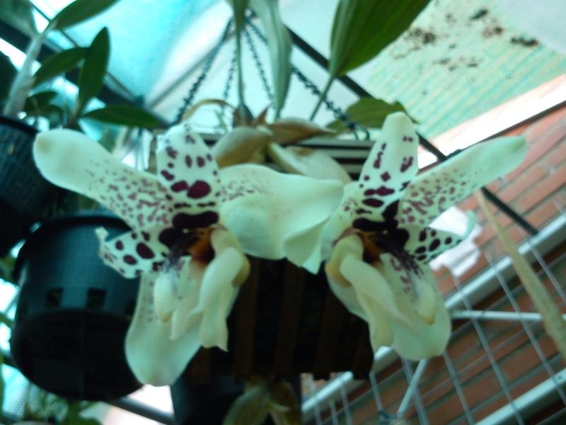 Stanhopea martiana, heutemorgen offen gegangen.... Martia19