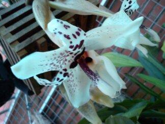 Stanhopea martiana, heutemorgen offen gegangen.... Martia22