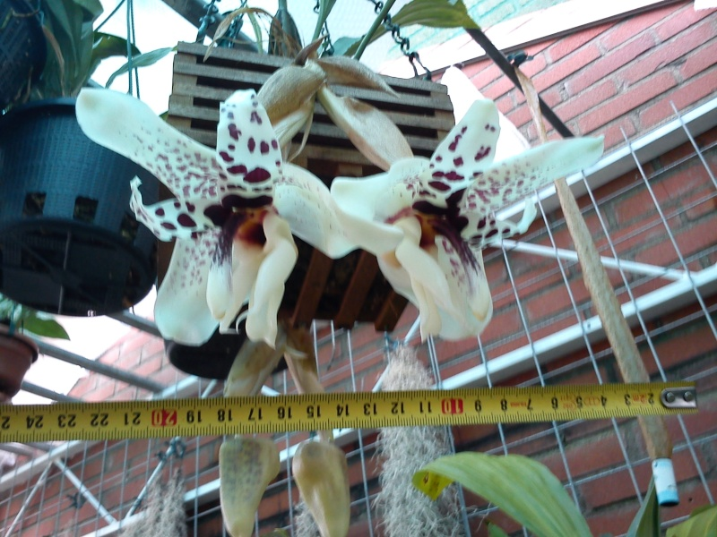 Stanhopea martiana, heutemorgen offen gegangen.... Martia27