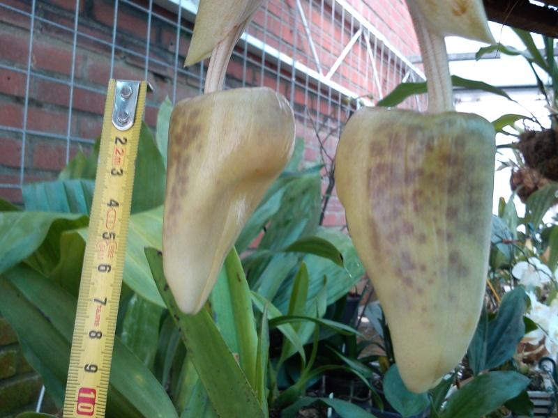 Stanhopea martiana, heutemorgen offen gegangen.... Martia29