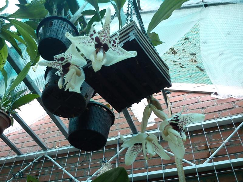 Stanhopea martiana, heutemorgen offen gegangen.... Martia32
