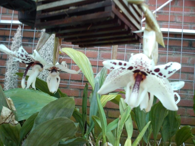 Stanhopea martiana, heutemorgen offen gegangen.... Martia36