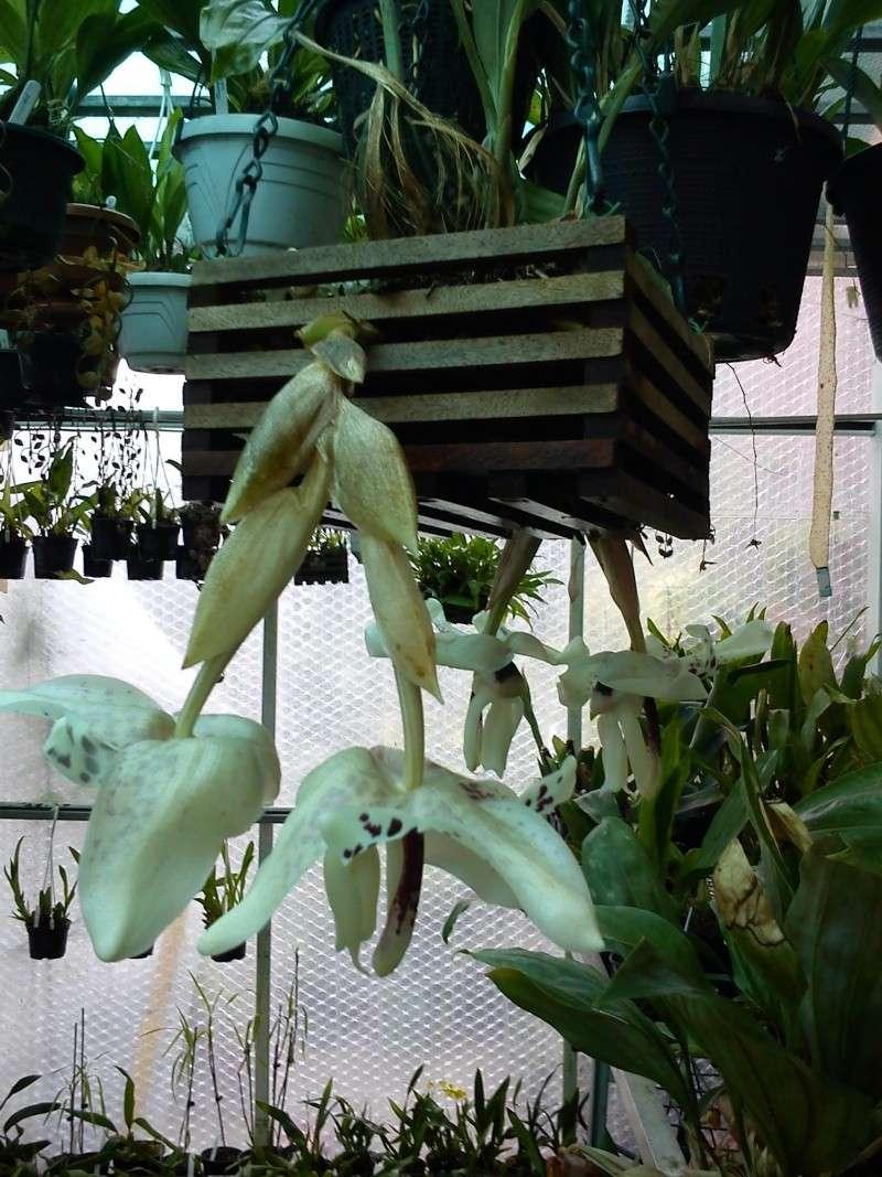 Stanhopea martiana, heutemorgen offen gegangen.... Martia38