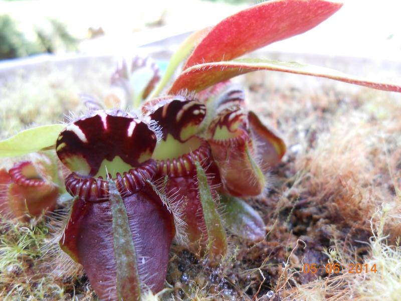 Cephalotus évolution d'un jeune Dscn0012