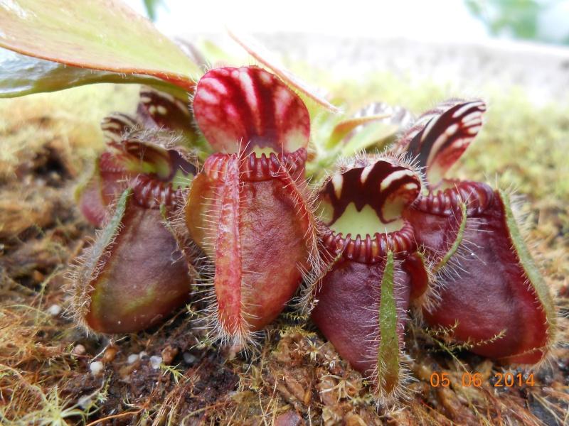 Cephalotus évolution d'un jeune Dscn0013