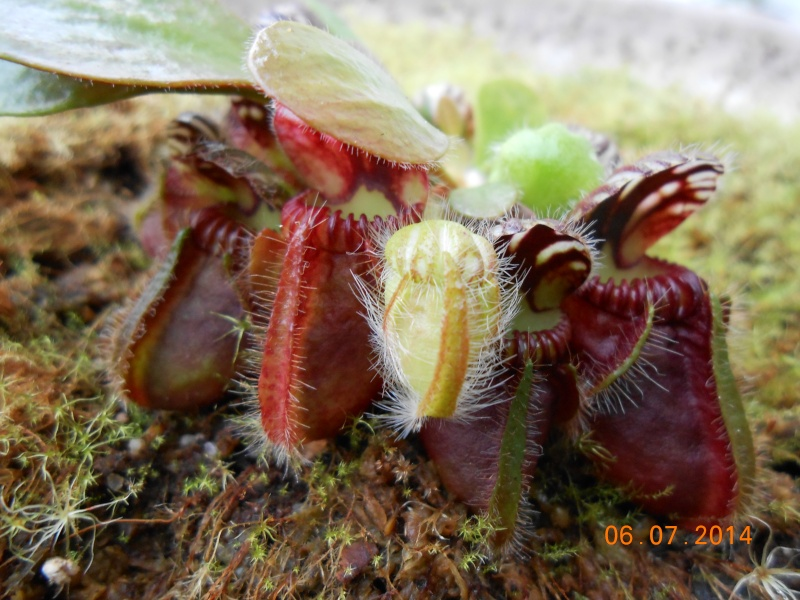 Cephalotus évolution d'un jeune Dscn0017