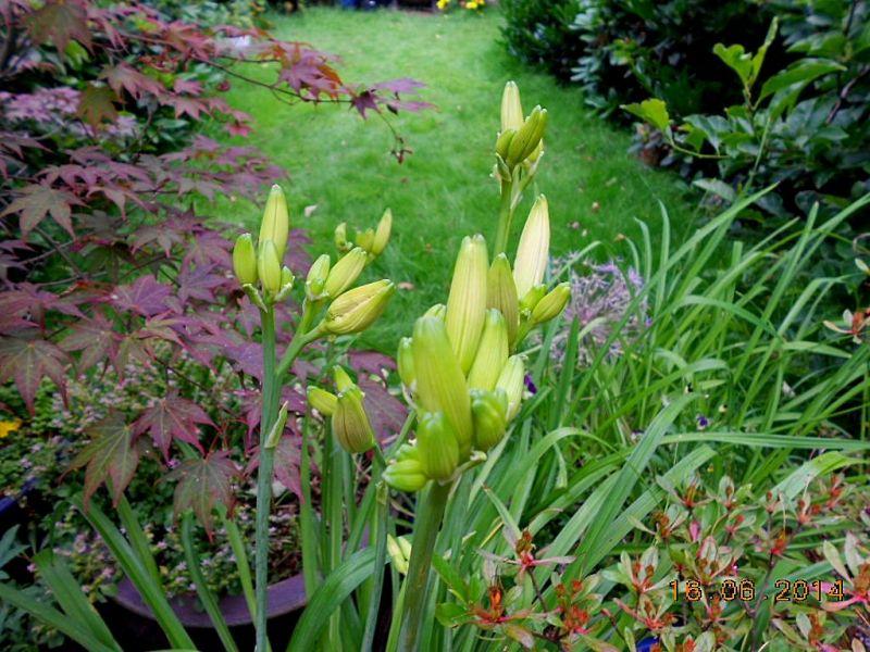 Hemerocallis - Taglilien - Schönheiten im Juni und Juli - Seite 4 Dscn3619