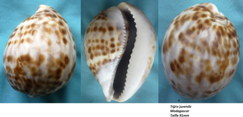 Cypraea tigris tigris - Linnaeus, 1758 - Juvénile  00122