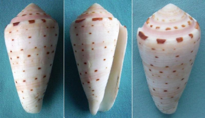 Conus (Pionoconus) aurisiacus  Linnaeus, 1758 - Page 2 00219