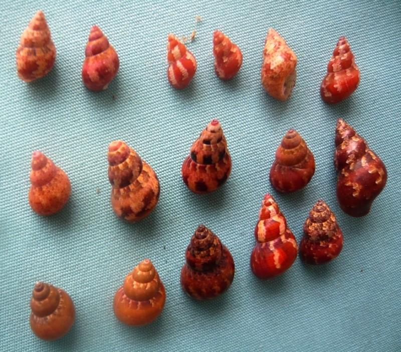 Phasianella solida (Born 1778)  00221